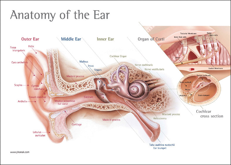 anatomy of hearing including ear structures Anatomy of hearing including ear structures and brain structures the ear, an organ for hearing and balance, is anatomically divided into three sections: the outer ear, the middle ear, and the inner ear (henderson.
